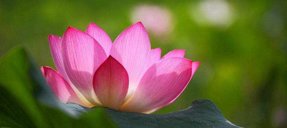 Meditation - Lotos flower
